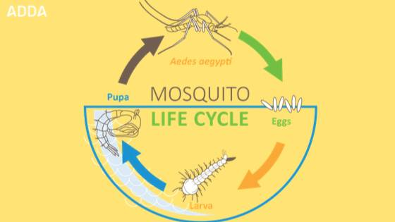 Dengue Mosquito Lifecycle